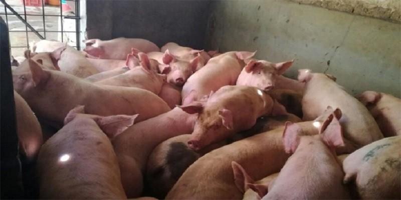 cerdos_matadero