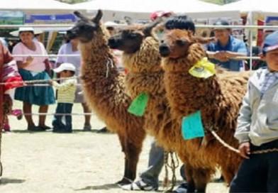 Productores invitan a la expoferia «Festillama» en el Campo Ferial de El Alto