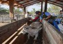 Más de 3 millones de bovinos serán vacunados contra la fiebre aftosa